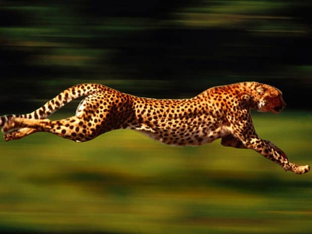 Come fa il ghepardo ad essere così veloce?