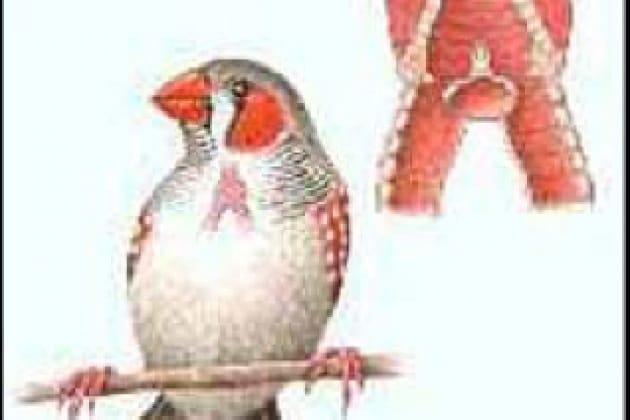 Perché gli uccelli fanno gorgheggi così diversi?
