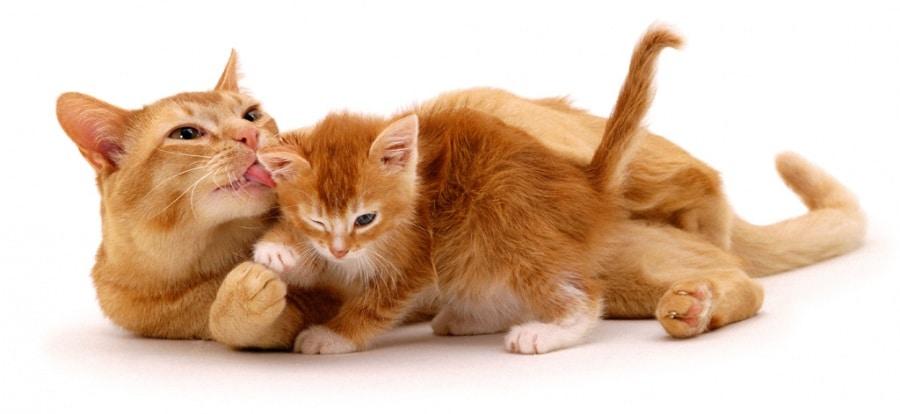 abbastanza Tante foto di gatti di razza - Focus.it MZ51