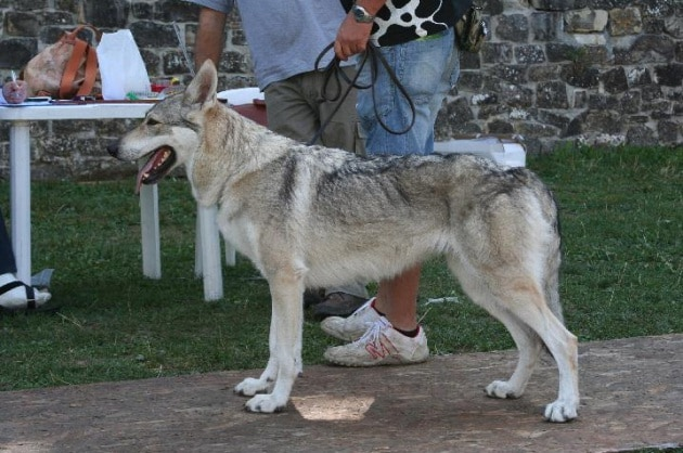 Qual è il cane che assomiglia più al lupo?