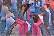 piguini
