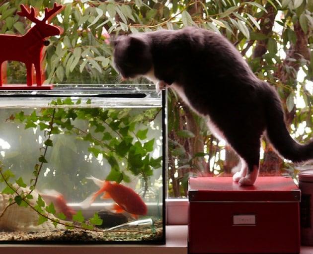 Perché ai gatti piace così tanto mangiare pesce?