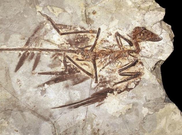 La forfora di dinosauro e l'evoluzione del volo