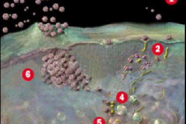 Perché l'afta epizootica è così contagiosa?
