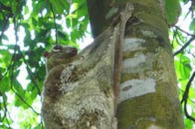 Scoperto il parente più stretto dei primati: è il colugo