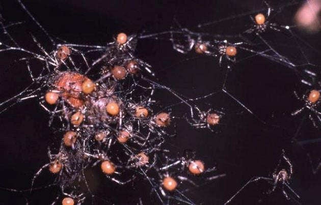 Ragni che vivono in società