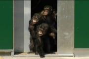scimpanze_630002