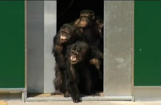 Scimpanzé da laboratorio conquistano la libertà