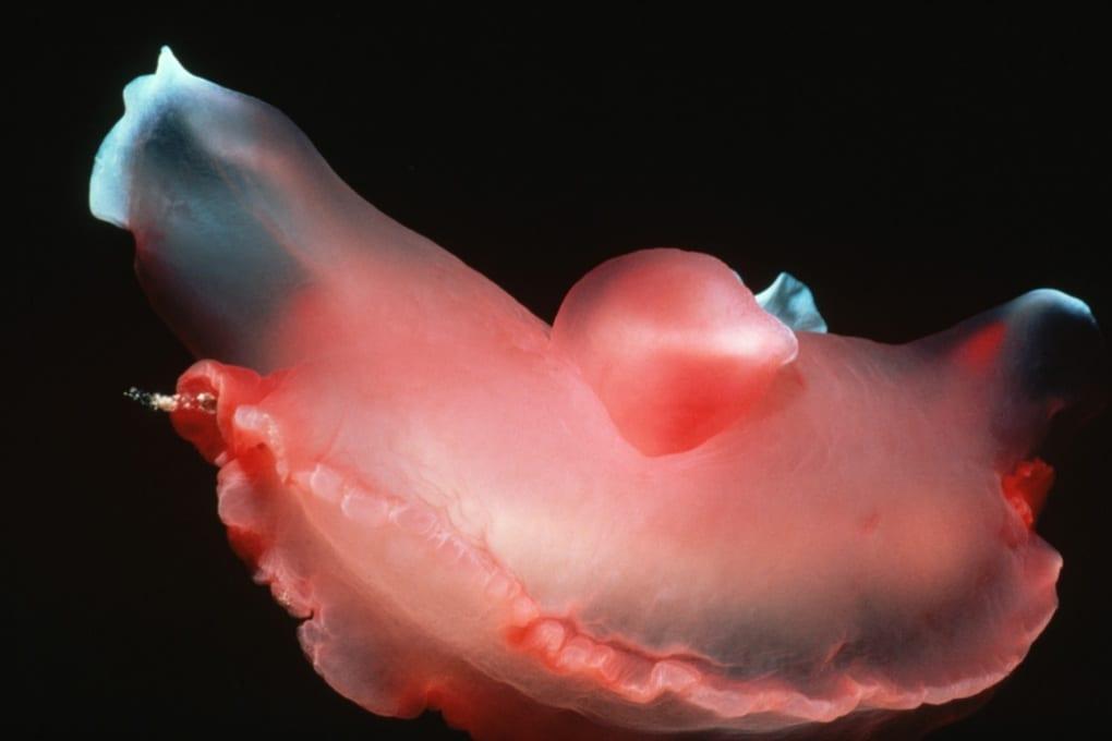 L'invasione di nudibranchi nel Nord Pacifico