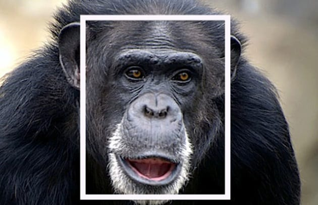 chimp_face_181162