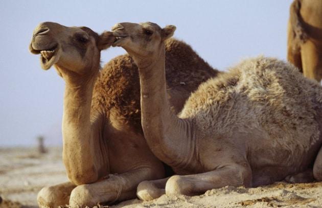 I cammelli inquinano troppo: abbattiamoli