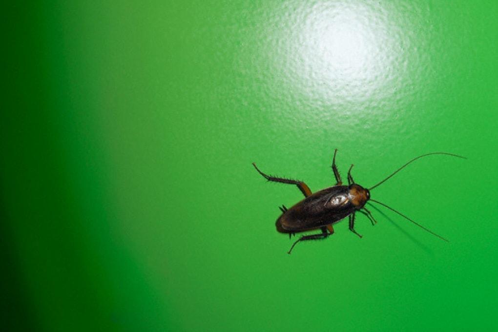 È vero che gli scarafaggi sopravvivono anche alla bomba atomica?