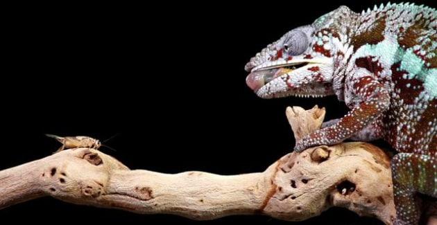 Il pasto in slow motion del camaleonte