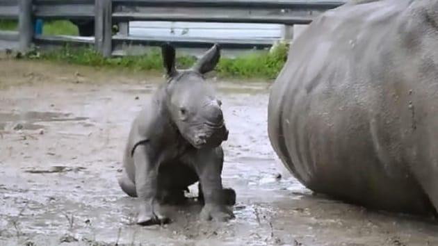Il primo bagno di fango di un baby rinoceronte