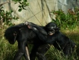 baby-chimp-611