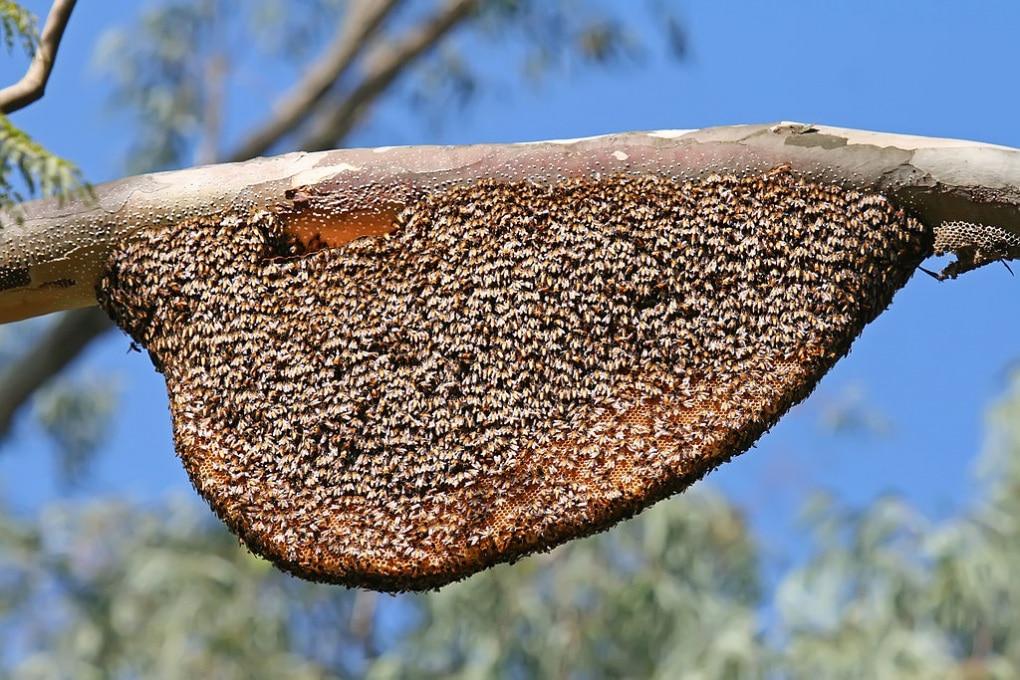 Le api giganti fanno la