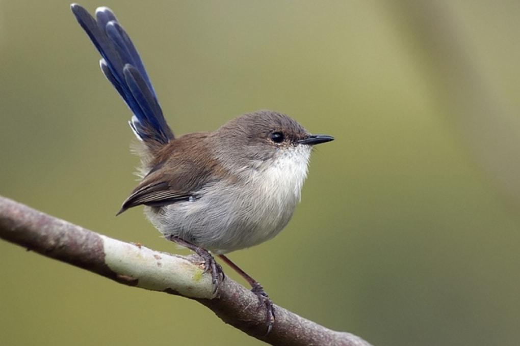 L'uccello australiano che insegna a cantare alle proprie uova
