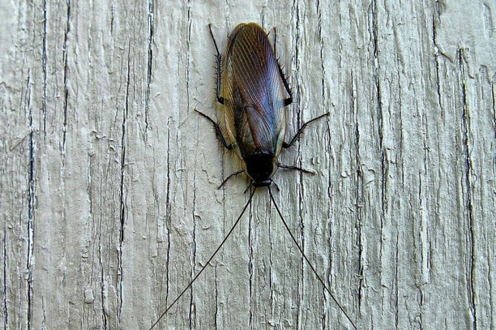 Antenne lustre per sentire meglio gli odori: parola di scarafaggio