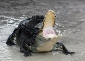 alligator_mississippiensis_