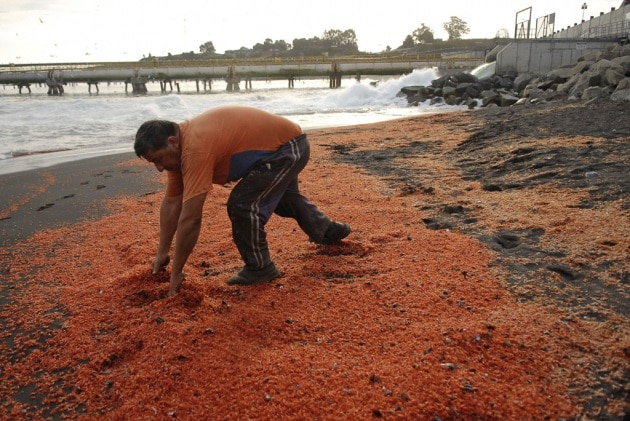 La misteriosa ecatombe di gamberi in Cile