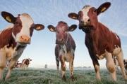 mucche-rfid_222115