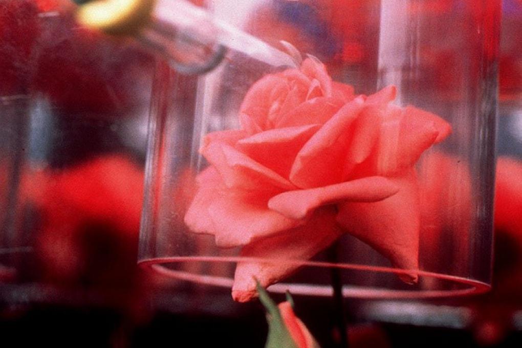 Una rosa dal profumo