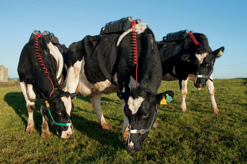 Mucche e metano, arrivano i sensori per misurare le puzzette