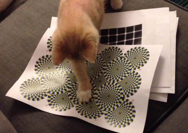 Il gatto alle prese con un'illusione ottica