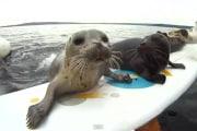Le foche e il surf