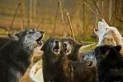 wolf_174159