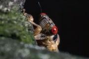 cicada-eyes.crop_display