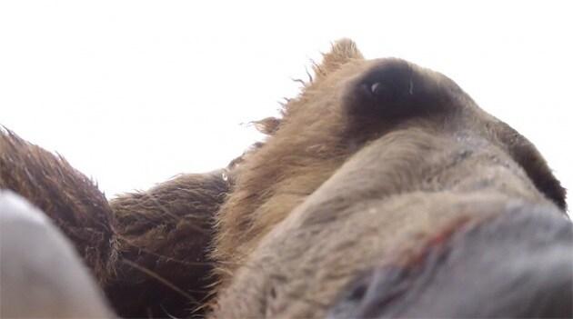 Aiuto, un grizzly si è mangiato la videocamera