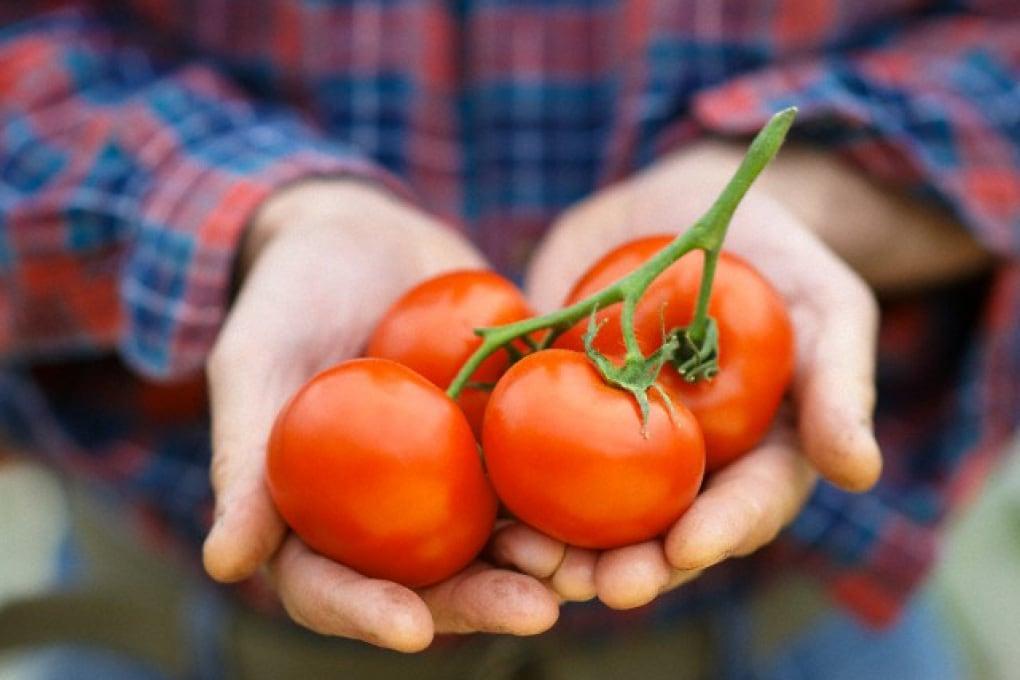 Perché i pomodori non hanno più sapore?