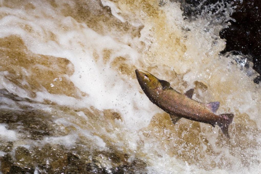 Salmoni colpiti da un pericoloso virus letale