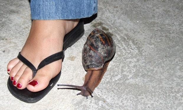 giant_snail_africa