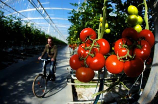 Pomodori contro CO2. Sarà una buona idea?