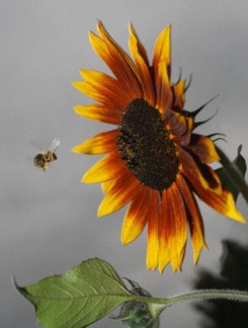 Perché gli insetti fanno rumore quando volano?