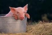 Il letame dei maiali diventa energia alternativa
