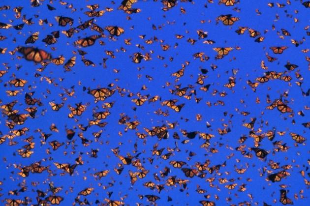 L'incredibile viaggio delle farfalle monarca