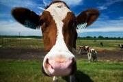 farm_biogas_mucca_187320
