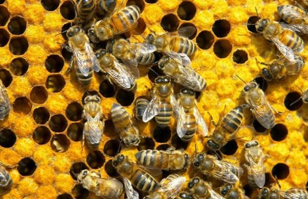 Così i cellulari uccidono le api