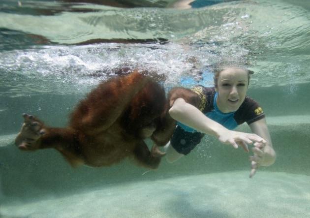 Altro che stile a cagnolino: anche oranghi e scimpanzé nuotano a rana
