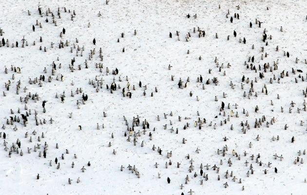 I ghiacci si sciolgono e i pinguini imperatori... traslocano