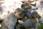scimmia_famiglia_ibp