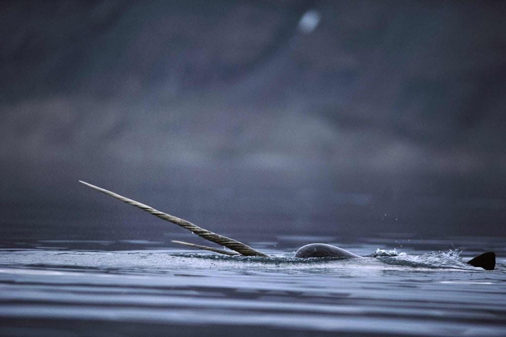 Fusione dei ghiacci artici: la Nasa recluta i narvali