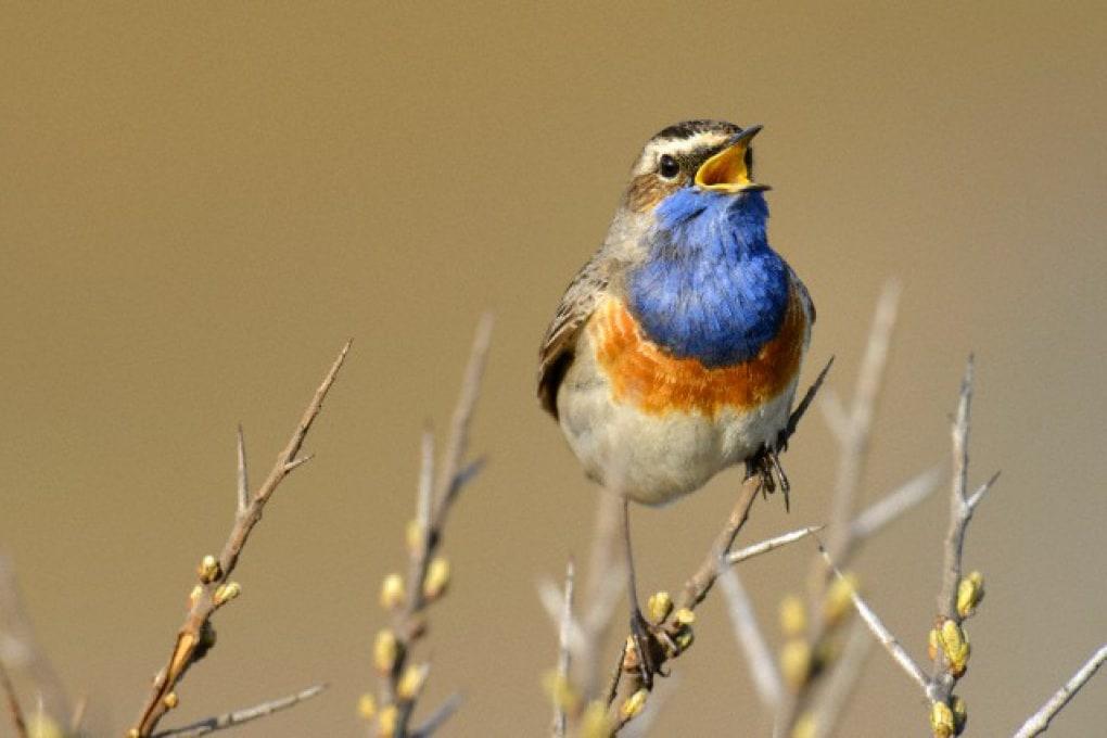 Gli uccelli seguono la scala musicale?