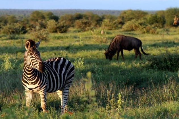 Perché le zebre hanno le strisce?