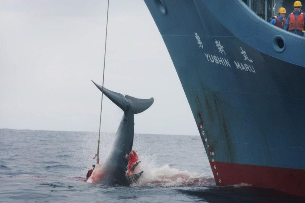 Il Giappone riprende la caccia alle balene