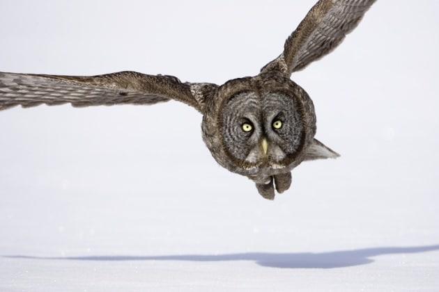 Il segreto del volo silenzioso dei gufi