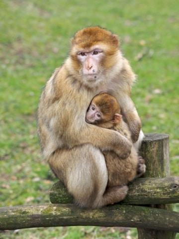 Esistono scimmie in Europa?